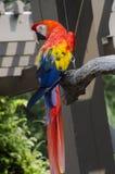 Escarlate do pássaro da arara imagem de stock