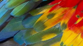 Escarlate do pássaro da arara bonito Fotos de Stock