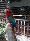 Escarlate do papagaio da arara na grande gaiola foto de stock