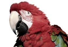Escarlate do papagaio do macaw Foto de Stock