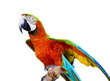 Escarlate do papagaio do Macaw Fotos de Stock Royalty Free