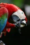 Escarlate dos Macaws fotos de stock