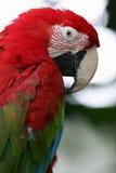 Escarlate dos Macaws fotografia de stock royalty free