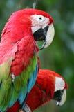 Escarlate dos Macaws imagens de stock royalty free