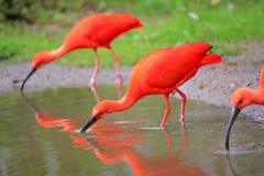 Escarlate dos pássaros de ibis no selvagem Imagem de Stock Royalty Free
