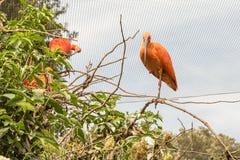 Escarlate dos pássaros dos íbis em uma árvore Fotografia de Stock