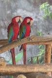 Escarlate dos papagaios da arara nos ramos fotografia de stock royalty free