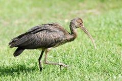 Escarlate jovem de ibis na grama Fotografia de Stock Royalty Free