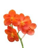 Escarlate vermelho da orquídea Fotografia de Stock