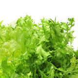 Escarole endive Royalty Free Stock Photo