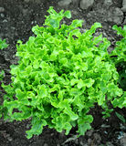 Escarole in the Ground. Escarole growing in the field Royalty Free Stock Photography
