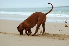 Escavação do cão Foto de Stock