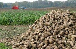 Escavação dos sugar-beets imagem de stock
