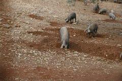 Escavação ibérica dos porcos Fotografia de Stock Royalty Free