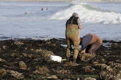 Escavadores dos moluscos Fotos de Stock Royalty Free