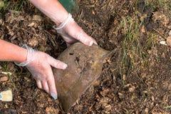 Escavando na floresta o capacete alemão M35 imitation Recuperação WW2 Rússia foto de stock
