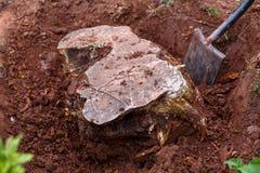 Escavando para fora, desarraigando um coto de árvore velho no jardim foto de stock royalty free