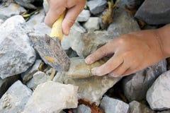 Escavando para fora fósseis Fotografia de Stock