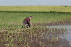 Escena agrícola, granjero en campo de maíz después de la inundación fotos de archivo libres de regalías