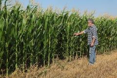Escena agrícola, granjero que examina el campo de maíz verde Fotos de archivo