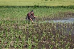 Escena agr?cola, granjero en campo de ma?z fotos de archivo