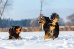 Escena agresiva de dos perros en la nieve Foto de archivo libre de regalías