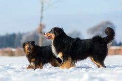 Escena agresiva de dos perros en la nieve Imágenes de archivo libres de regalías