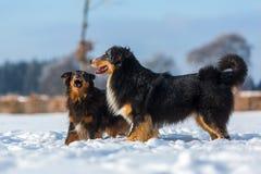 Escena agresiva de dos perros en la nieve Foto de archivo