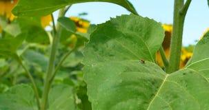 Escena al aire libre del primer con la mariquita roja del escarabajo del Coccinellidae en la hoja del girasol almacen de video