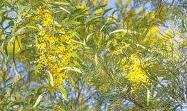 Escena australiana del arbusto con las flores del zarzo Foto de archivo libre de regalías