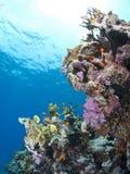 Escena coralina tropical colorida en agua baja. Fotografía de archivo libre de regalías