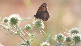 Escena de alimentación de la naturaleza de la mariposa almacen de video