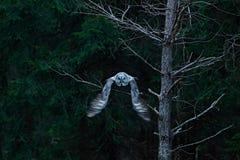 Escena de la acción del bosque con el búho Gran Grey Owl que vuela, nebulosa del Strix, sobre árbol spruce verde con el bosque os Imagenes de archivo