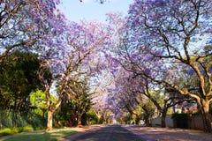 Escena de la calle de la madrugada de los árboles del jacaranda en la floración Imágenes de archivo libres de regalías