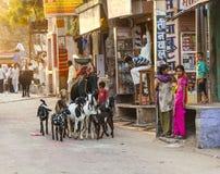 Escena de la calle en Jodhpur, mujer con una multitud de cabras Foto de archivo