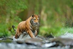 Escena de la fauna de la acción del tigre, gato salvaje, hábitat de la naturaleza Tigre que se ejecuta en agua Animal del peligro Fotografía de archivo