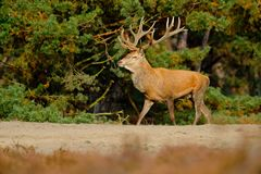 Escena de la fauna, naturaleza Heath Moorland, comportamiento del animal del otoño Ciervos comunes, celo, Hoge Veluwe, Países Baj foto de archivo libre de regalías