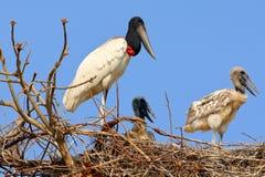 Escena de la fauna de Suramérica Comportamiento animal en naturaleza Estación de la jerarquización en Suramérica Familia de pájar Imágenes de archivo libres de regalías