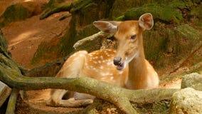 Escena de la fauna Venados de cola blanca en barbecho jovenes, animal salvaje del mamífero en el cerco del bosque Manchado, Chita almacen de metraje de vídeo