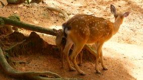 Escena de la fauna Venados de cola blanca en barbecho jovenes, animal salvaje del mamífero en el cerco del bosque Manchado, Chita almacen de video