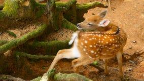 Escena de la fauna Venados de cola blanca en barbecho jovenes, animal salvaje del mamífero en el cerco del bosque Manchado, Chita metrajes