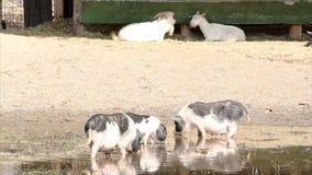 Escena de la granja de cerdos metrajes