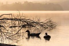 Escena de la mañana de patos en una charca Fotografía de archivo