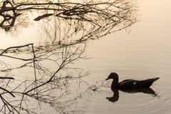 Escena de la mañana de patos en una charca Fotos de archivo libres de regalías