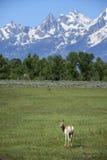 Escena de la montaña de Pronghorn Fotos de archivo