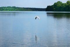 Escena de la naturaleza de la gaviota que vuela sobre el agua de un lago foto de archivo