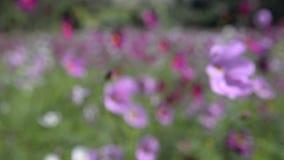Escena de la naturaleza de las flores florecientes del cosmos almacen de metraje de vídeo