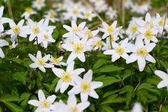 Escena de la primavera - Anemone Forest Bed de madera Fotos de archivo