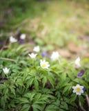 Escena de la primavera - Anemone Forest Bed de madera primavera imagen de archivo