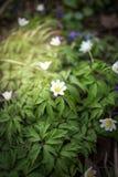 Escena de la primavera - Anemone Forest Bed de madera primavera imagenes de archivo